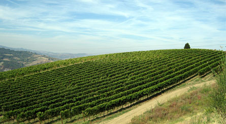Vineyards - Bonzara