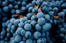 LOVING LAMBRUSCO<br>(CONTENT FORTHCOMING)